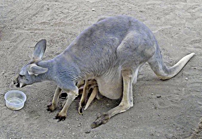 kenguru-v-sumke
