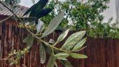 Олива. Листья и плоды