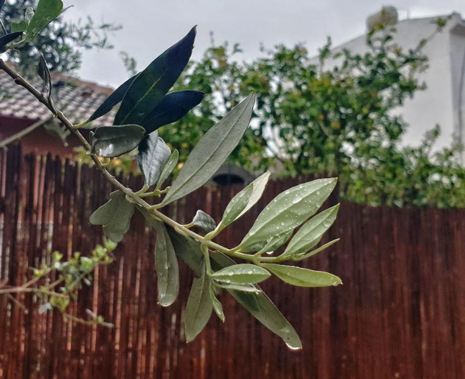 list-olivy