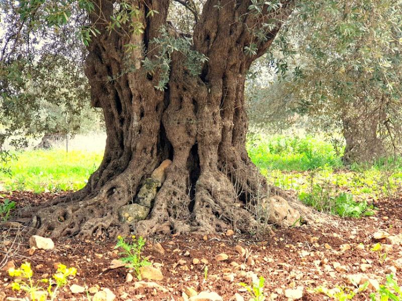 slozhnyj-stvol-olivy