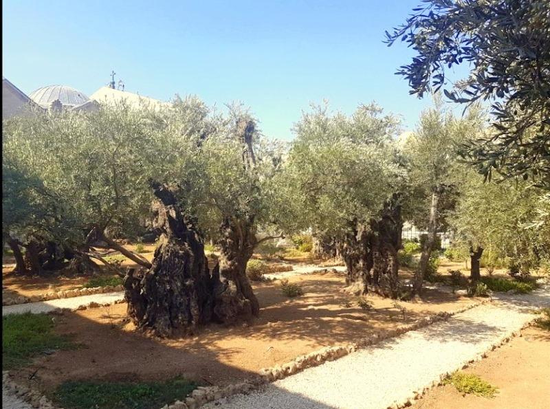 drevnie-olivy-v-gefsimanskom-sadu-ierusalim
