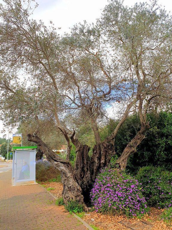 polaya-oliva