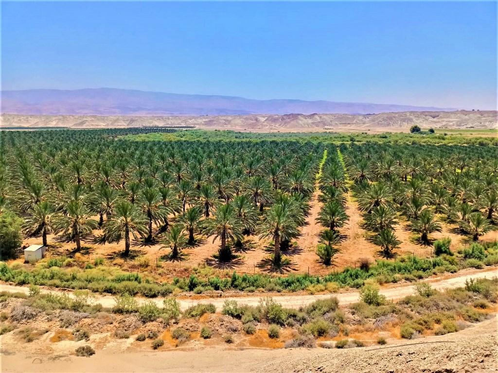 plantatsiya-finikovyh-palm